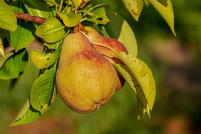 Pears are ideal treats for horses