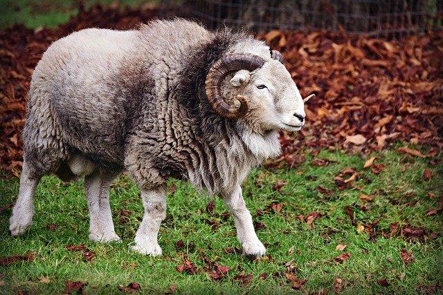 Ram Fur