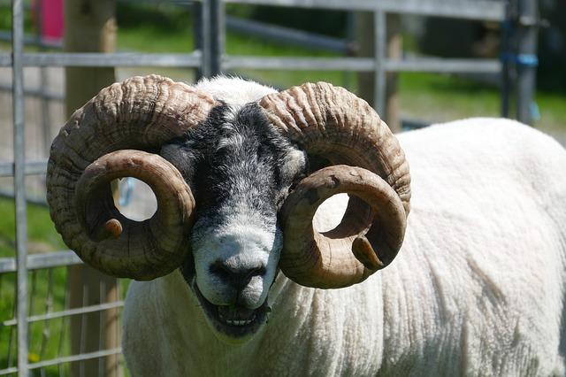 Rams vs Goats