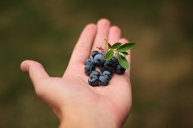 Benefits of Blueberries for French Bulldogs