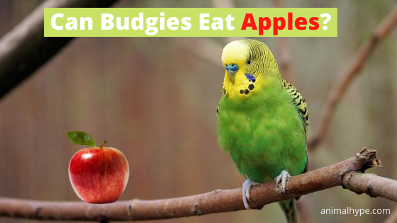 Can Budgies Eat Apples