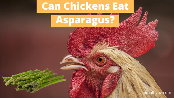 Can Chicken Eat Asparagus