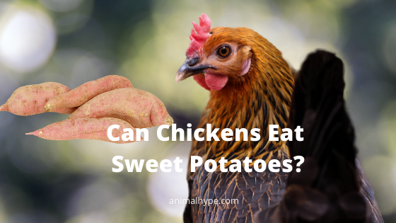 Can Chickens Eat Sweet Potatoes