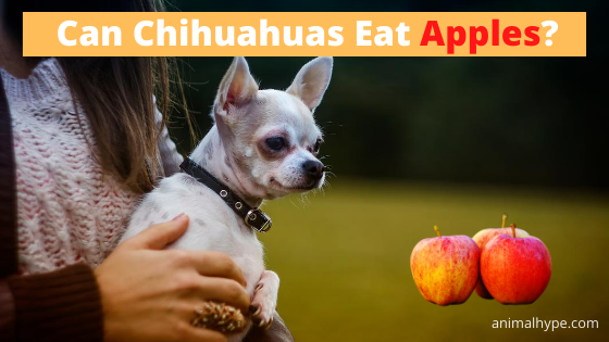 Can Chihuahuas Eat Apples