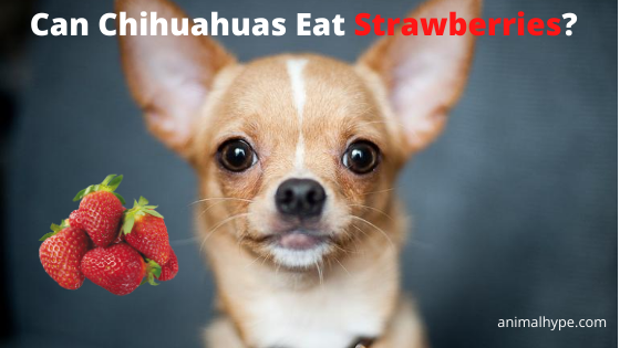 Can Chihuahuas Eat Strawberries