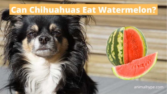 Can Chihuahuas Eat Watermelon