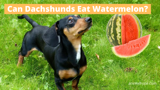 Can Dachshunds Eat Watermelon