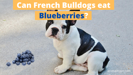 Can French Bulldogs eat Blueberries