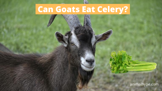 Can Goats Eat Celery