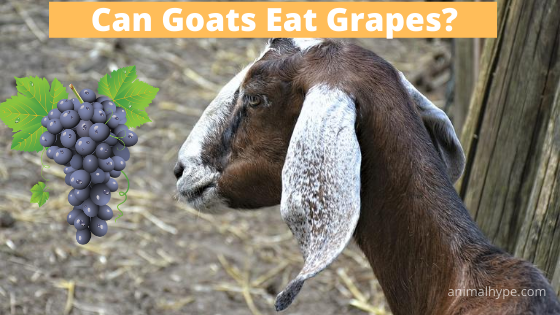 Can Goats Eat Grapes