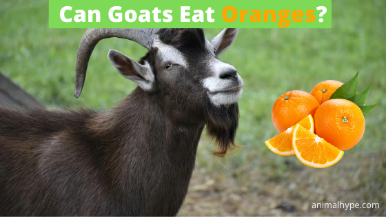 Can Goats Eat Oranges