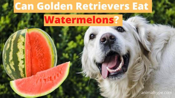 Can Golden Retrievers Eat Watermelons