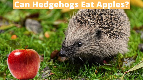Can Hedgehogs Eat Apples