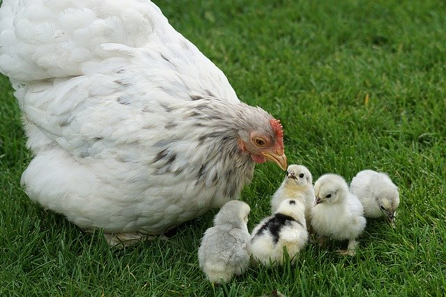 Can you feed cilantro to baby chickens