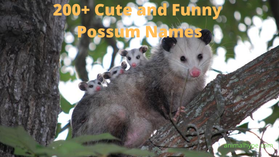 Cute and Funny Possum Names