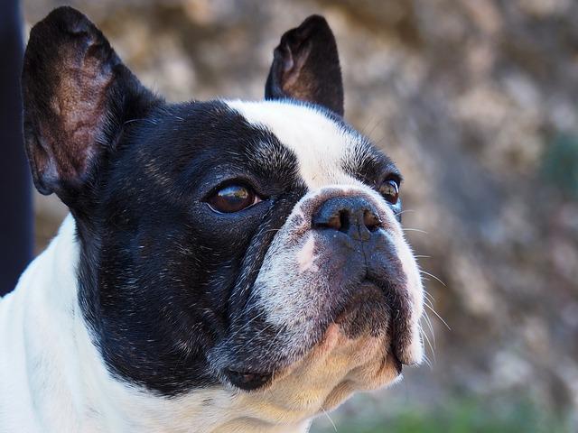 Do French Bulldog eat blueberries