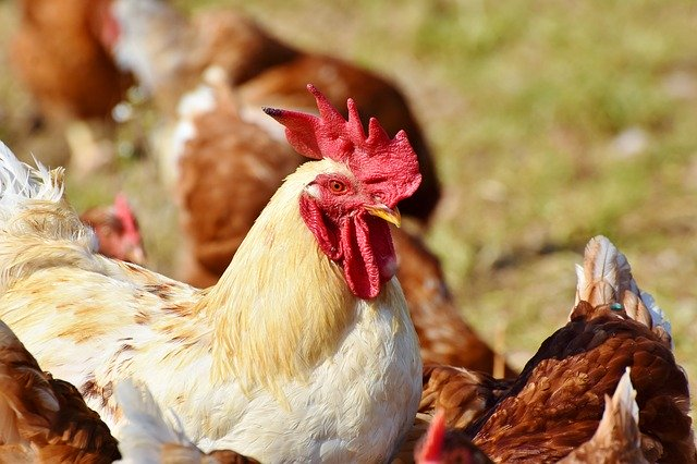 Do chickens like eating cilantro