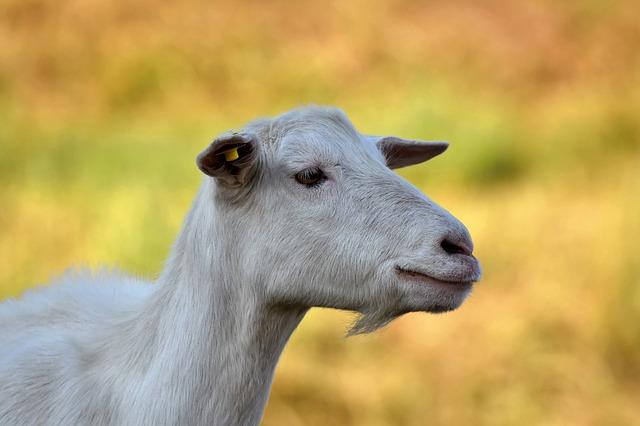 Do goats like eating celery