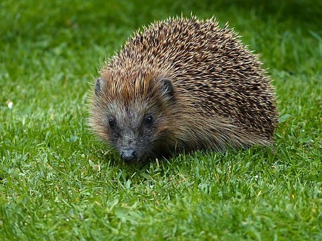 Do hedgehogs like eating apples