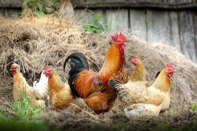 Do hens eat bell peppers