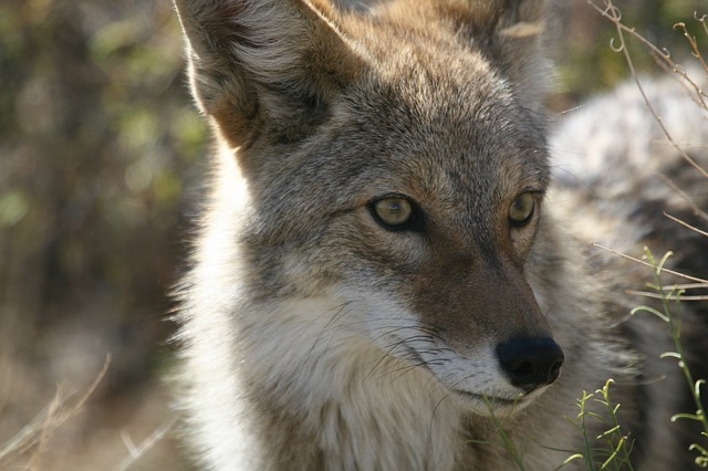 Famous coyote names