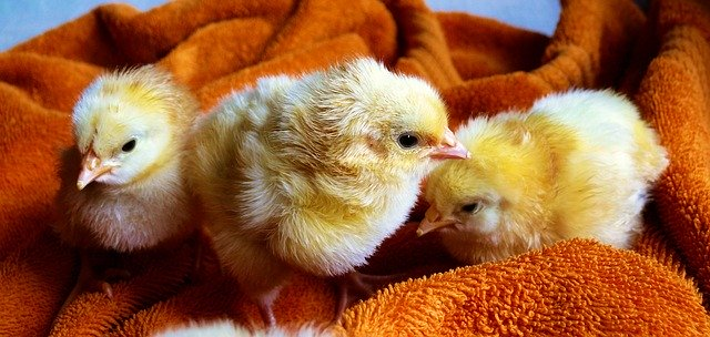 feed French fries to baby chickens