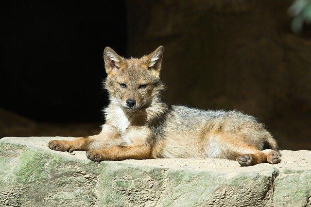 Good coyote names