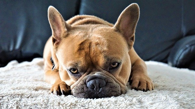 Grape poisoning in French Bulldogs