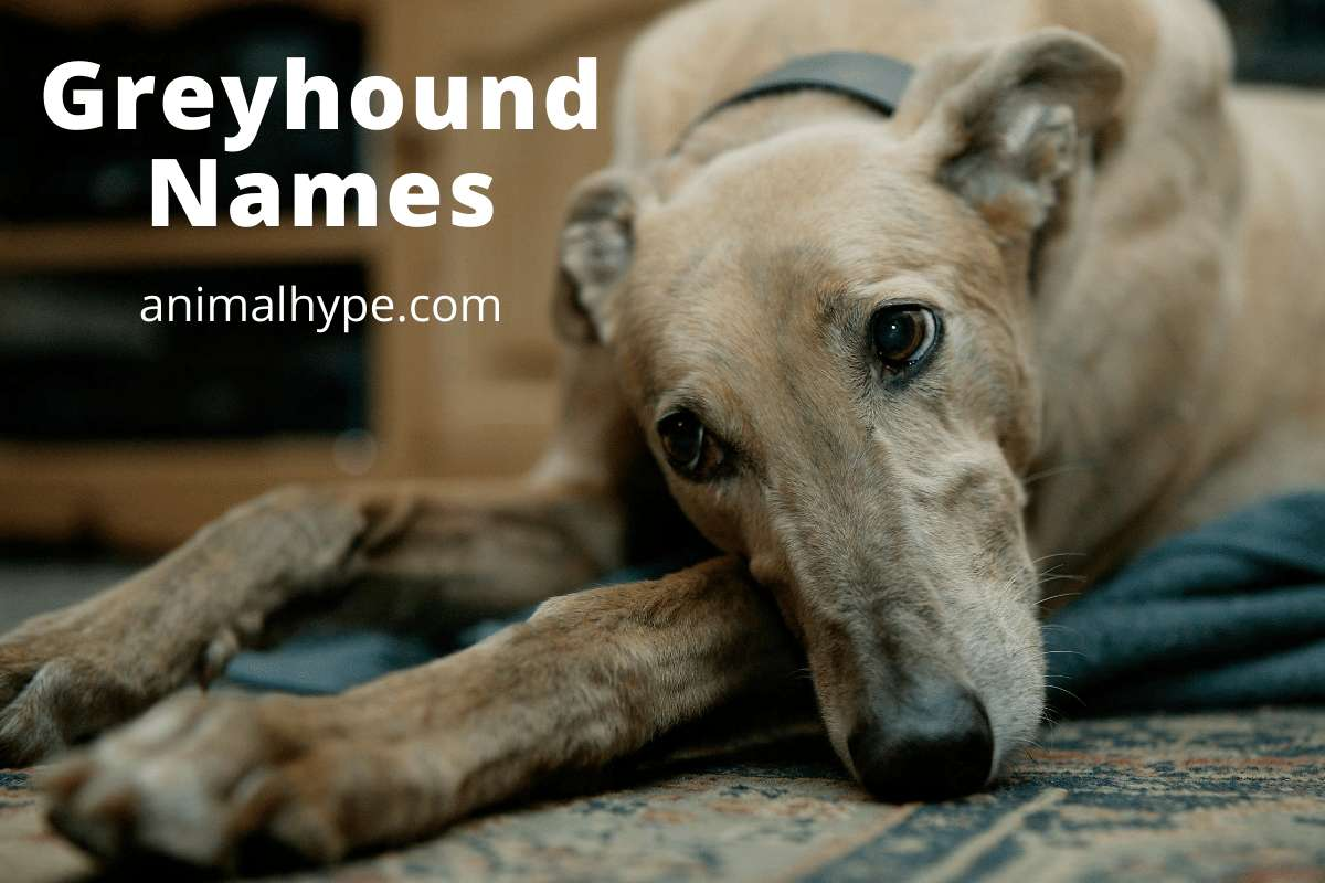 Greyhound Names