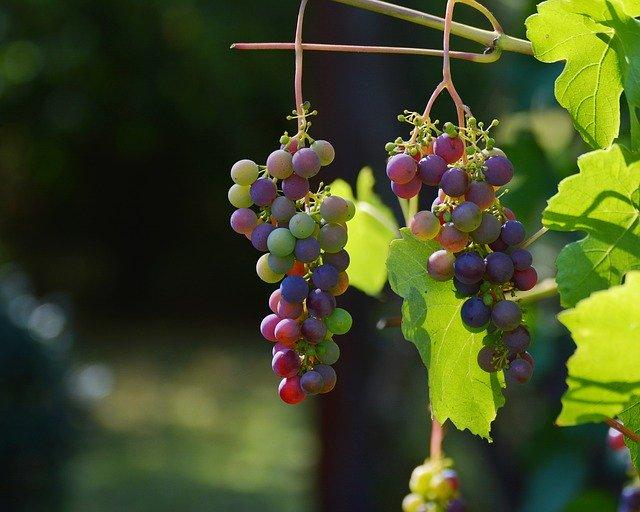 How many grapes will hurt my French Bulldog