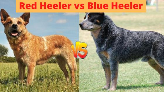 Red Heeler vs Blue Heeler