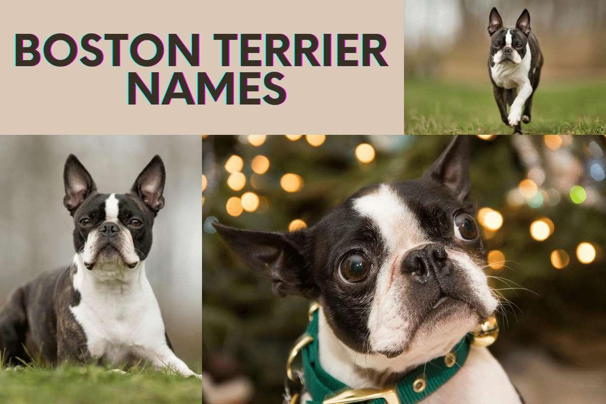 boston terrier names