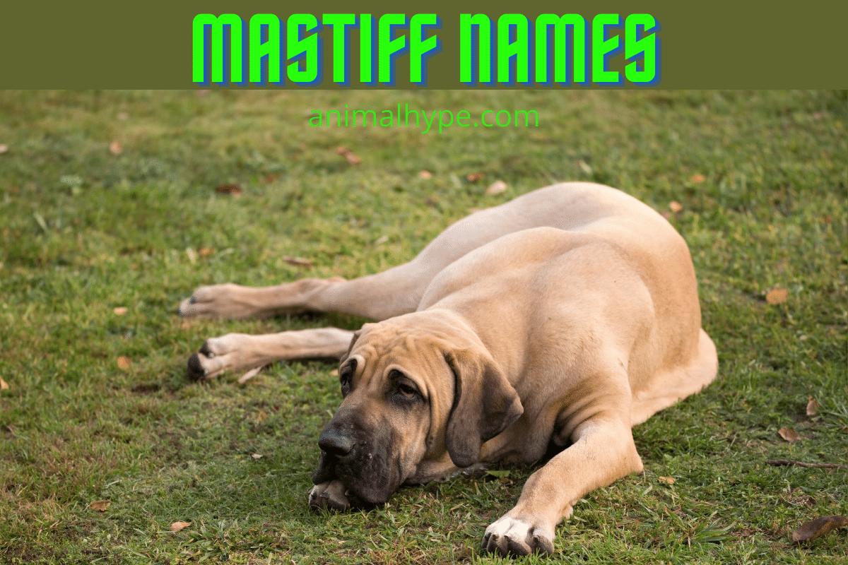 mastiff names