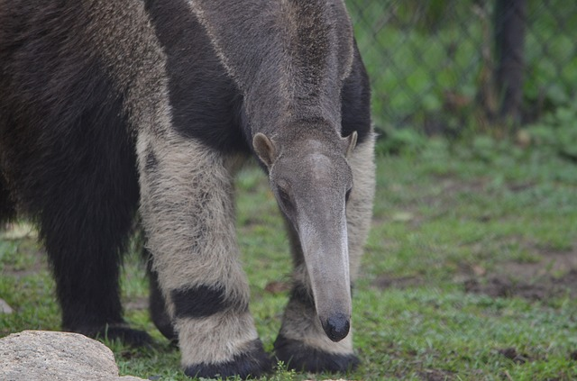 Anteater appearance