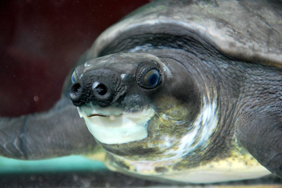 Are Pig-Nosed Turtles endangered