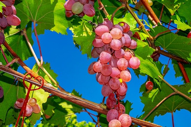 Are grapes healthy for turtles