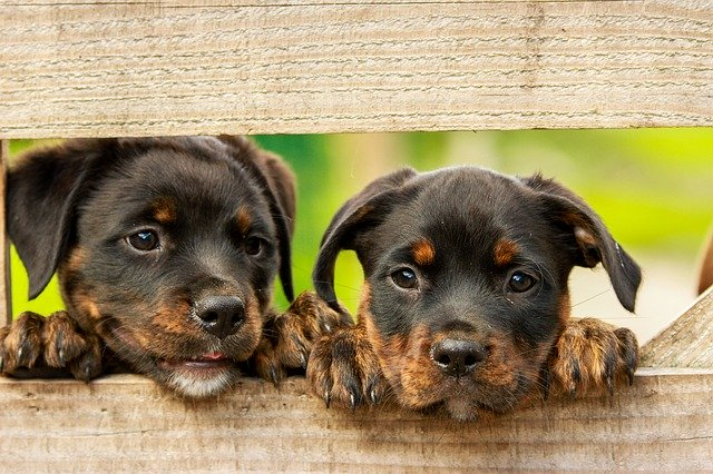 Awesome Rottweiler Names