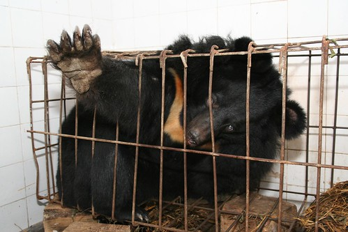 Bear bile extraction