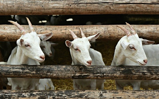 Benefits of cucumbers to goats
