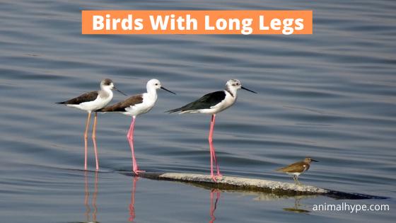 Birds With Long Legs