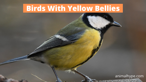 Birds With Yellow Bellies