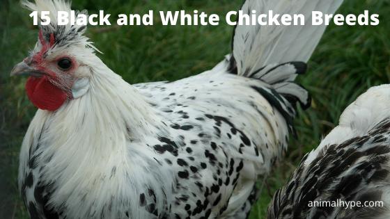 Black and White Chicken Breeds