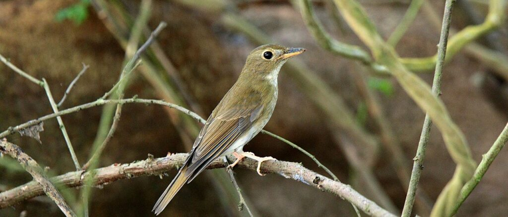 Brown-Chested Flycatcher