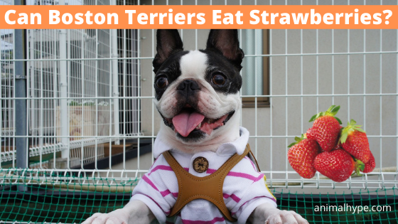 Can Boston Terriers Eat Strawberries