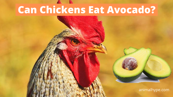 Can Chickens Eat Avocado