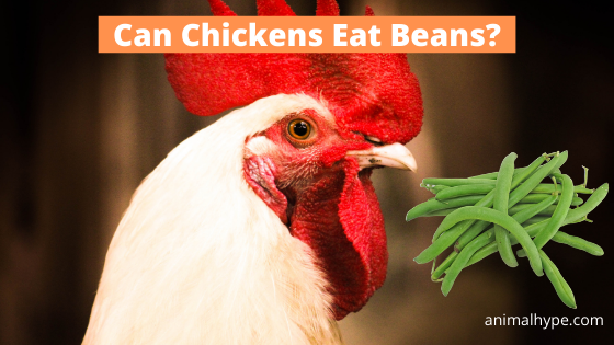 Can Chickens Eat Beans