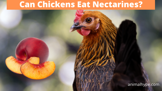 Can Chickens Eat Nectarines