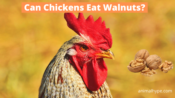 Can Chickens Eat Walnuts