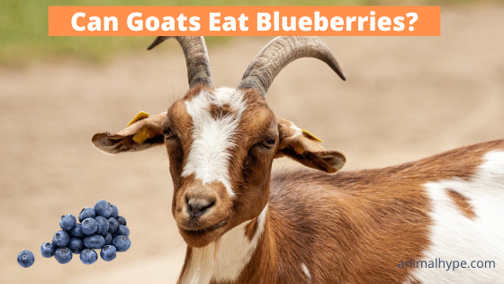 Can Goats Eat Blueberries