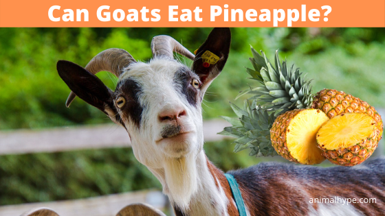 Can Goats Eat Pineapple